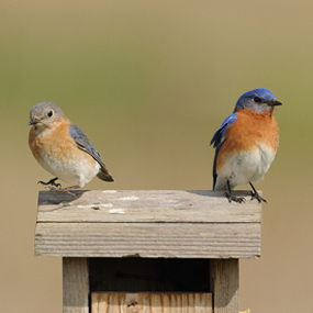 Eastern-Bluebirds-Podcast-JanetAndPhil-285
