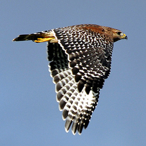 Red-shouldered-Hawk-Hope-Mayer-285
